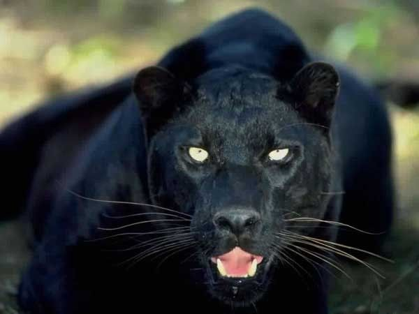 puma noir animal totem